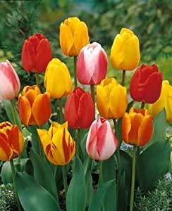 Tequila Sunrise Tulip - 50 Bulbs - Colorful Mix