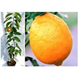 とげ無し[トゲナシ]レモン4~5号ポット[柑橘・かんきつ類苗木]