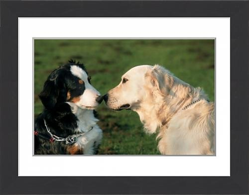 framed-print-of-dogs-bernese-mountain-dog-and-golden-retriever-sniffing-each-others-nose