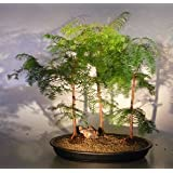 Redwood Bonsai Tree Three(3) Tree Forest Group