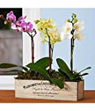 Assorted Mini Orchid Trio