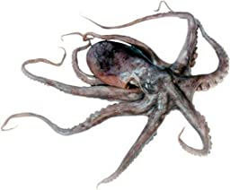 Preserved 6-8 Inch Octopus Plain in Vacuum Pack