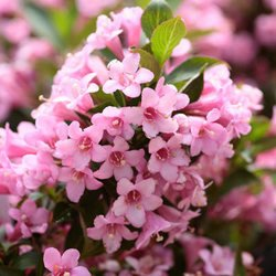 Amazon.com : 50 OLD FASHIONED WEIGELA Florida Bush Shrub