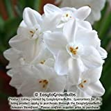 Paperwhites Inball, 20 - 20 very large bulbs - 17+ cm