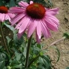 SEED BARGAINS: Rudbeckia Purpurea Purple (Echinacea) (Approx 25 Commercial Grade Seeds)