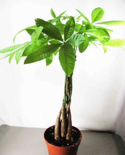 9GreenBox – 5 Money Tree Plants Braided into 1 Tree -Pachira-4″ Pot