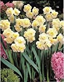 10 White Cheerfulness Double Daffodil/Narcissus Bulbs Scented Multi-Headed