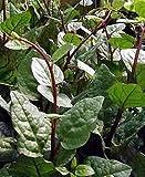 Climbing Malabar Spinach 60 Seeds - Ornamental/Edible Garden, Lawn, Supply, Maintenance