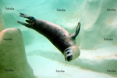 "Wallmonkeys Peel and Stick Wall Graphic - The Seal - 24""W x 16""H"