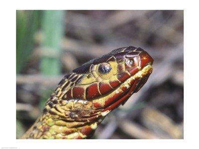 Red Bellied Water Snake Red Bellied Water Snake High