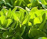Indian Gardening Spinach Mustard Tendergreen Komatsuna Greens Brassica Rapa S...