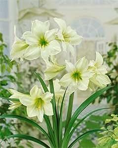 Green Goddess Jumbo Amaryllis - 1 bulb