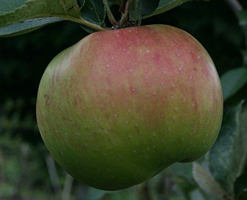 dwarf-patio-apple-tree-bramleys-seedling-fruit-tree-for-pots-or-small-gardens