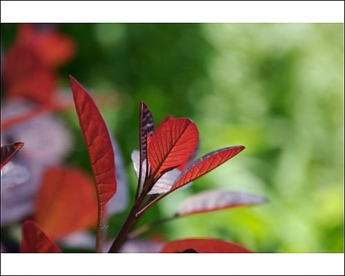 Photographic Prints of Red leaves of plant backlit by the sun from Silverport Pictures