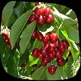 Fruiting Cherries - Variety 'Stella' On COLT Rootstock-Large 6' Tall Trees