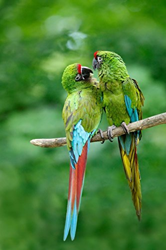 Parrots in Love Journal: 150 Page Lined Notebook/Diary