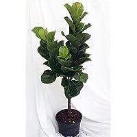 Fiddleleaf Fig Stylized Tree Shape - Ficus - Great Indoor Tree - Easy - 8