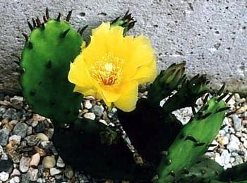 Winter Hardy Perennial Prickly Pear Cactus - Opuntia - 3