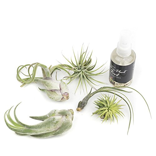MakersKit Air Plant Exotic Assortment, Set of Five