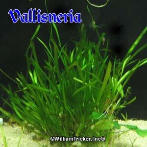 Amazon.com : Vallisneria Live Aquarium Plants 24 Rooted ...