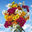 72 Assorted Fresh Cut Chrysanthemums Daisies Flowers | Fresh Flowers Express Delivery | Perfect for Birthdays, Anniversary or any occasion.