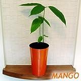 マンゴーの苗 限定ロングカラーカバー付き 5号スリット鉢植え