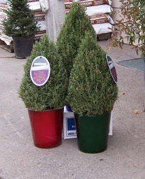 Christmas Rosemary Topiary