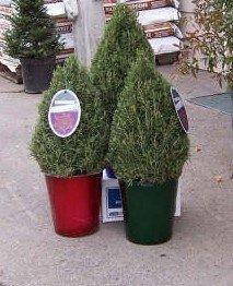 Christmas Rosemary Topiary
