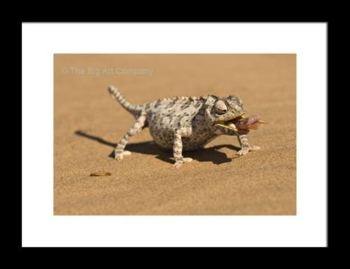 framed-print-namaqua-chameleon-chamaeleo-namaquensis-wraps-its-tonge-around-a-grub-worm
