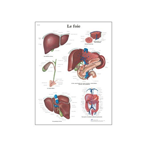 "3B Scientific VR2425L Glossy UV Resistant Laminated Paper Le Foie Anatomical (The Liver Anatomical Chart, French), Poster Size 20"" Width x 26"" Height"