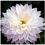 (Dahlia #DD099) Type Flower Bulb Dahlia Pachyderms Flower Dahlia Bulbs Seeds Bonsai Flowers - 100 Pcs Seeds (DHA@007)