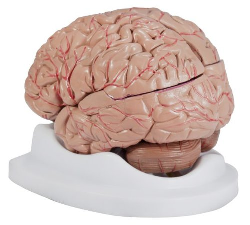 Budget Brain With Arteries Model (Nervous System Model compare prices)