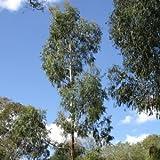 Eucalyptus viminalis - 20 semi
