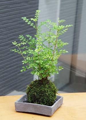 涼しげな葉が苔とよくあいます【シマトネリコの苔玉・焼締角灰器・敷石セット】 (敷石の色(黒石))