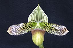 Jump Start Sale: 3 different orchids grower\'s choice