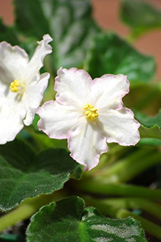 pair-of-white-african-violet-blooms-for-the-love-of-flowers-blank-150-page-lined-journal-for-your-th