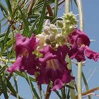 Desert Willow Seeds - Chilopsis linearis