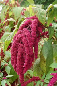 500 Love Lies Bleeding Amaranthus Caudatus Kiss Me Over The Garden Gate Flower