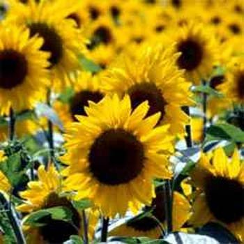 Sunflower Wild - 1000 Seeds