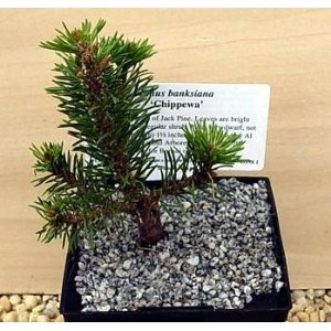 Jack pine bonsai 15 tree seeds pinus banksiana