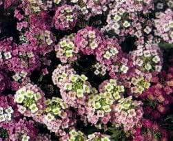 ALYSSUM ROSIE O'DAY 100 SEEDS