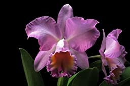 Blc Mary Jo McNerney cattleya orchid near blooming size great color