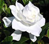 Summer Snow Gardenia - Hardy to 0 degrees - Very Fragrant - 4