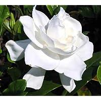 Summer Snow Gardenia - Hardy to 0 degrees - Very Fragrant - 4