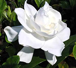 "Summer Snow Gardenia - Hardy to 0 degrees - Very Fragrant - 4"" Pot"