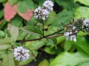 250 PEPPERMINT MINT Mentha Piperita Herb Flower Seeds