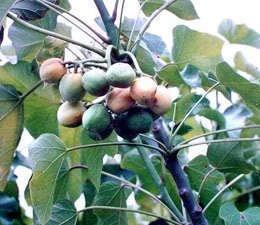 5-physic-nut-barbados-purging-jatropha-curcas-tree-seeds-bio-diesel-comb-s-h