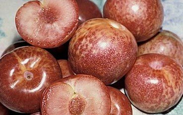 Dapple Dandy Pluot Tree -- 12 by 12 Inch Container