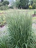 Reitgras 'Karl Foerster' - Calamagrostis a. 'Karl Foerster' - sehr