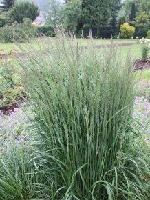 reitgras-karl-foerster-calamagrostis-a-karl-foerster-sehr-winterhart-von-native-plants